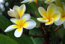 Franjipani Flowers