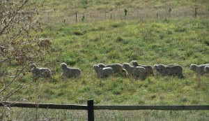 We Have Sheep!