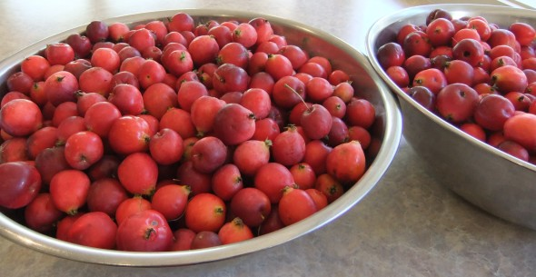 crab apples - cropped